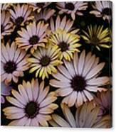Daisy Beauty Canvas Print