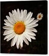 Daisy Dew Canvas Print