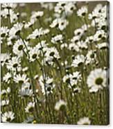Daisy Fields Forever - Alabama Wildflowers Canvas Print