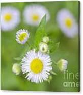 Daisy Flowers Canvas Print