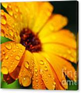 Daisy In The Rain Canvas Print