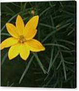 Daisy Wannabee Canvas Print