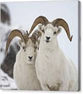 Dall Sheep Ovis Dalli Rams, Yukon Canvas Print