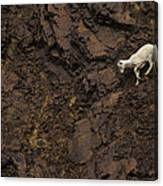 Dall Sheep Were Is Very Adapt Canvas Print