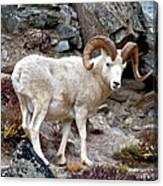 Dall's Sheep Canvas Print