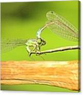 Damselflies Canvas Print