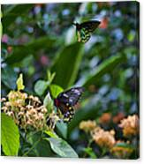 Dance Of The Butterflies Canvas Print