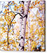 Dancing Birches Canvas Print