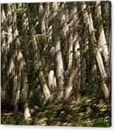 Dancing Birches Canvas Print