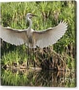 Dancing Egret Canvas Print