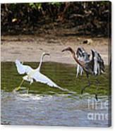 Dancing Egrets Canvas Print