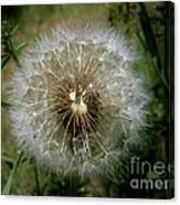 Dandelion Going To Seed Canvas Print