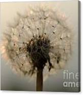 Dandelion In Backlight Canvas Print