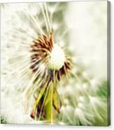 Dandelion No2 Canvas Print