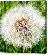 Dandelion Seedlings Canvas Print