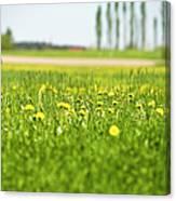 Dandelions Growing In Meadow Canvas Print