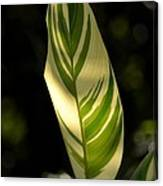 Dappled Ginger Leaf Canvas Print