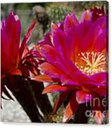 Dark Pink Cactus Flowers Canvas Print