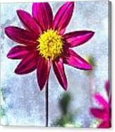 Dark Pink Dahlia On Blue Canvas Print