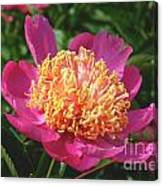 Dark Pink Peony Flower Series 3 Canvas Print
