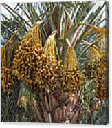 Date Palm In Fruit Canvas Print