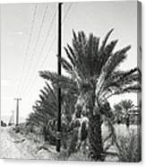 Date Palms On A Country Road Canvas Print
