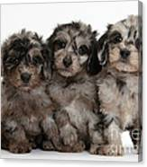 Daxiedoodle Poodle X Dachshund Puppies Canvas Print
