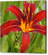 Day Lilly In Diffused Daylight Canvas Print