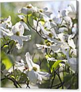 Dazzling Sunlit White Spring Dogwood Blossoms Canvas Print