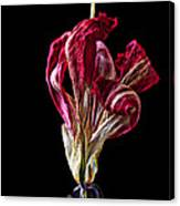 Dead Dried Tulip Canvas Print