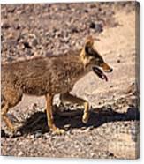 Death Valley Coyote Canvas Print