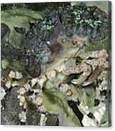 Decorator Crab, Indonesia Canvas Print
