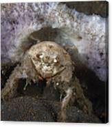 Decorator Crab With Mauve Sponge Canvas Print