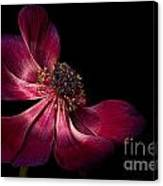 Deep Pink Anemone - 2 Canvas Print