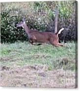 Deer At Viera Canvas Print