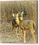 Deer Duo Canvas Print
