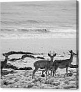 Deer On Beach Black And White Canvas Print