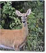 Deer Watch Canvas Print