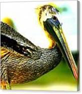 Deerfield Pelican Canvas Print