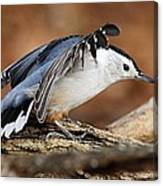 Defiant Nuthatch Canvas Print