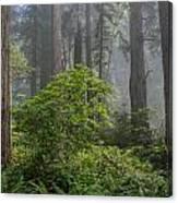Del Norte Redwoods Canvas Print