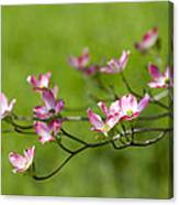 Delicate Pink Dogwood Blossoms Canvas Print