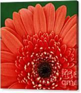 Delightful Gerber Daisy Canvas Print