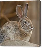 Desert Cottontail Rabbits Canvas Print