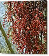 Desert Mistletoe Berries Canvas Print