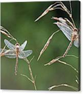 Dew Covered Dragonflies Canvas Print