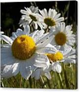 Dew Drops And Daisy Tops Canvas Print