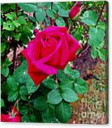 Dew Kissed Red  Rose Canvas Print