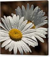 Dew Tell Oxeye Daisy Wildflowers Canvas Print