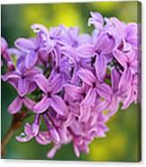 Dewdrops On Lilacs Canvas Print